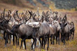 Kamtschatka Rentiere, Russland-Reisen
