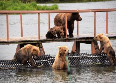 Kamtschatka Kurilensee - Bären
