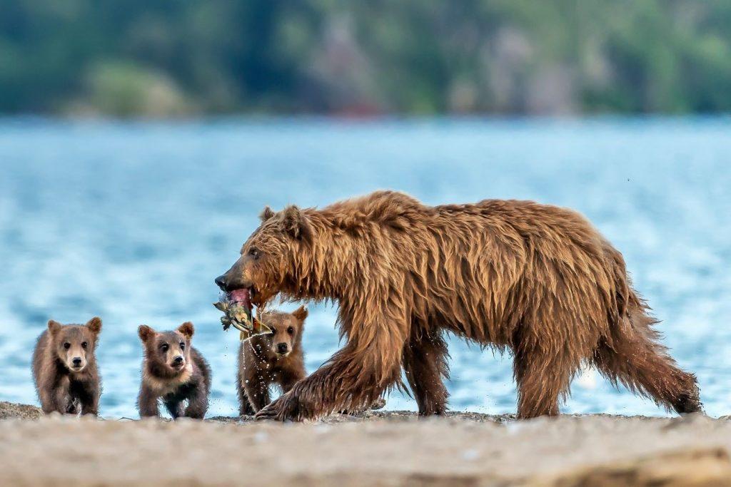 Bären Kamtschatka Russland